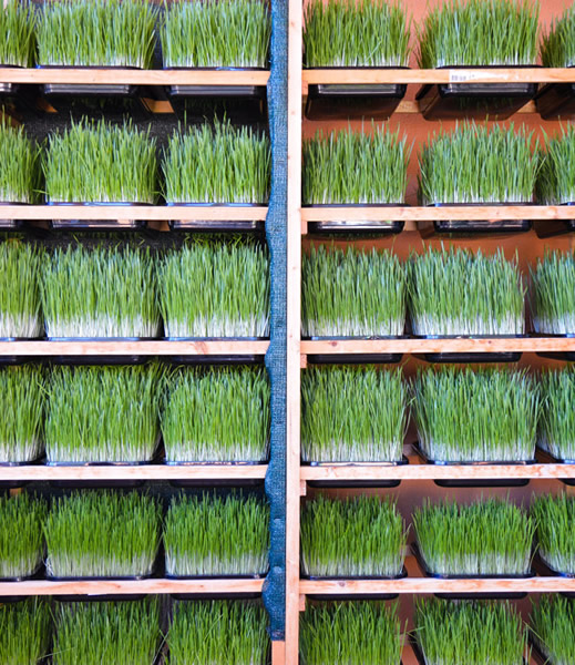 Array of wheatgrass